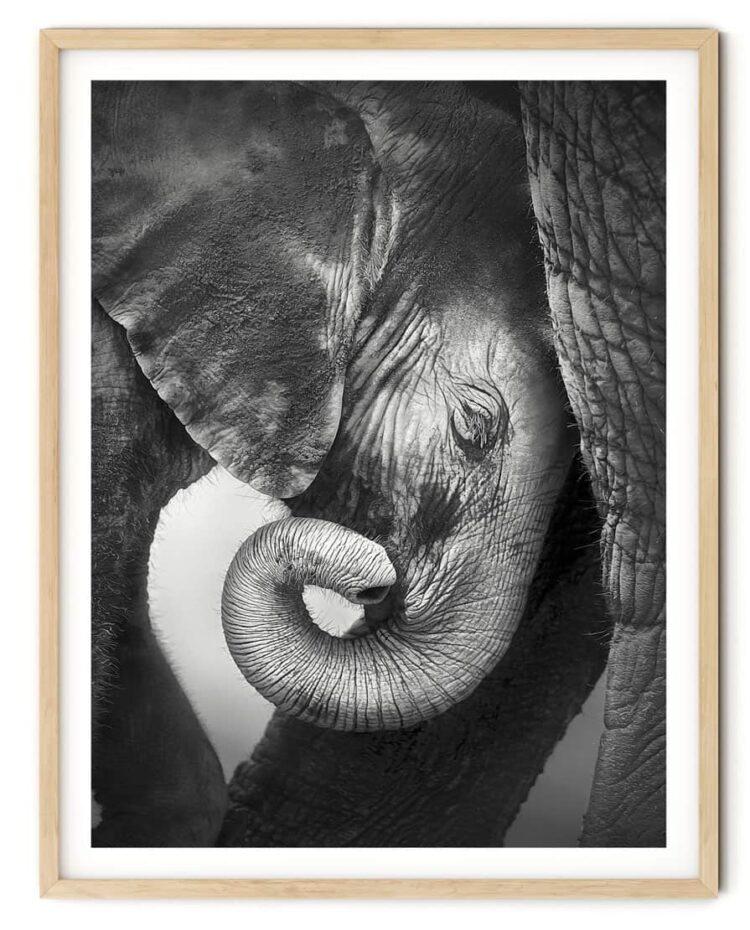 Baby Elephant Poster NoaNahiko download