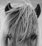 Icelandic Horse Scottland printable closer
