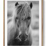 Icelandic Horse Art Print Poster